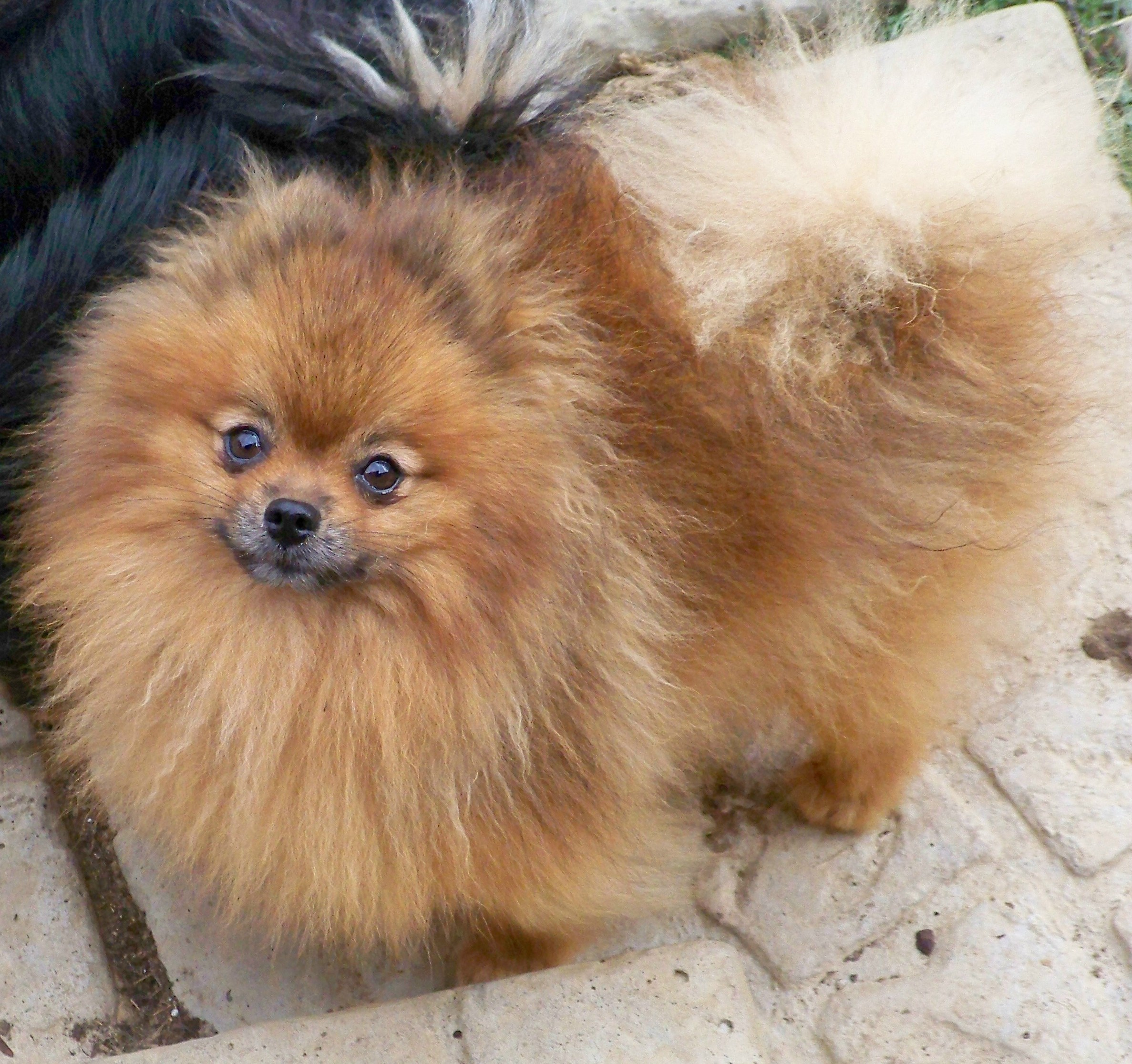 Brown pomeranian - photo#7
